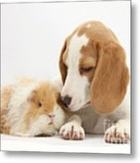 Orange-and-white Beagle Pup And Alpaca Metal Print