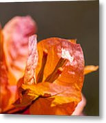 orange Bougainvillea Metal Print