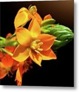 Orange Chincherinchee Metal Print by Gitpix