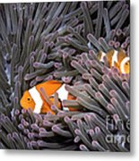 Orange Clownfish In An Anemone Metal Print