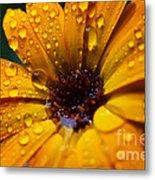 Orange Daisy In The Rain Metal Print