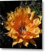Orange Echinopsis Flower  Metal Print