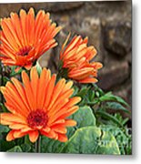 Orange Gerber Daisy Metal Print