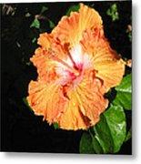 Orange Hibiscus After The Rain 1 Metal Print