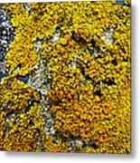 Orange Lichen - Xanthoria Parietina Metal Print