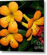 Orange Rhododendron Flowers Metal Print