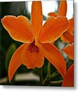 Orange Sherbert  Orchid Metal Print