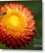 Orange Straw Flower With Guest Metal Print