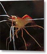 Orange White And Red Shrimp, Bali Metal Print