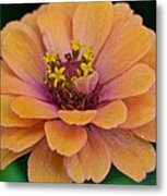 Orange Zinnia_9475_4267 Metal Print