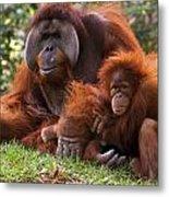 Orangutan Mother And Baby Metal Print