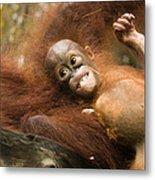 Orangutan Pongo Pygmaeus.  Juvenile Metal Print