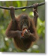 Orangutan Pongo Pygmaeus Young Eating Metal Print