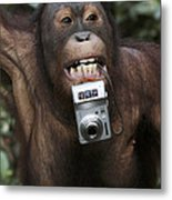 Orangutan With Tourists Camera Metal Print