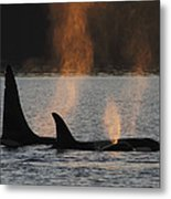 Orca Orcinus Orca Resident Pod Metal Print