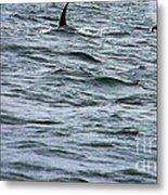 Orca Whales Metal Print