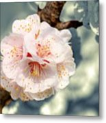 Orchard Of Apricot Trees Metal Print
