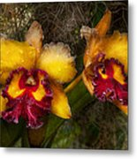 Orchid - Cattleya - Dripping With Passion  Metal Print