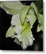 orchid 900 Brassolaeliocattleya Ruben's Verde Chantilly Green Metal Print