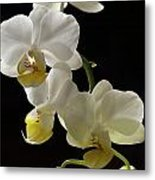 Orchid Blossom Cluster Metal Print