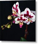 Orchid Flowers Against Black Background Metal Print