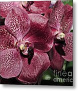 Orchid Vanda And Ascocenda Hybrid II Metal Print