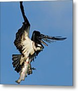 Osprey And Rainbow Trout Metal Print