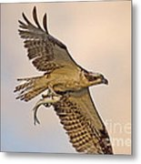 Osprey Catches Big Fish Metal Print