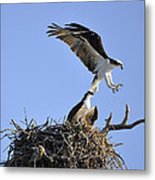 Osprey Coming In For A Landing Metal Print