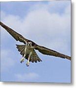 Osprey In Flight Two Metal Print