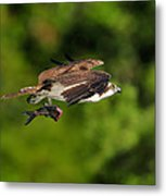 Osprey Inflight At Blue Cypress Lake Metal Print