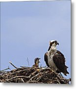 Osprey Mother And Chick Metal Print
