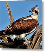 Osprey On A Windy Morning Metal Print