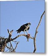 Osprey with Catch I Metal Print