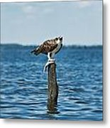 Osprey With Catch. Metal Print
