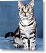 Outstanding American Shorthair Cat Metal Print