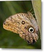Owl Butterfly Caligo Idomeneus Resting Metal Print
