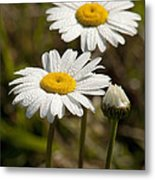 Ox-eye Daisy Wildflowers Drenched In Dew Metal Print