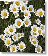 Ox-eyed Daisies, Banff National Park Metal Print