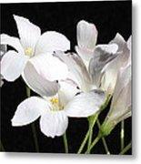 Oxalis Flowers 2 Metal Print