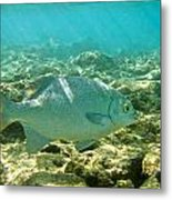 Pacific Chub 1080113.jpg Metal Print