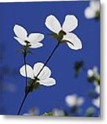 Pacific Dogwood Blossoms Cornus Metal Print