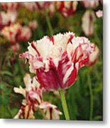 Painted Candy Cane Tulip Metal Print