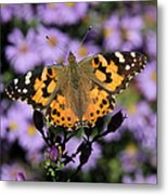Painted Lady Among The Asters Metal Print