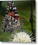 Painted Lady Butterfly Din049 Metal Print