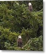 Pair Of Bald Eagles Metal Print by Darcy Michaelchuk