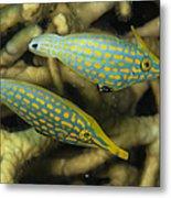 Pair Of Comet Fish, Australia Metal Print by Todd Winner