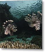 Pair Of Lionfish, Indonesia Metal Print