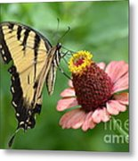 Pale Swallowtail And A Halo Metal Print