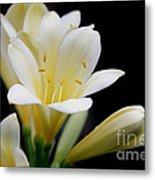 Pale Yellow Clivia Miniata Flowers Metal Print
